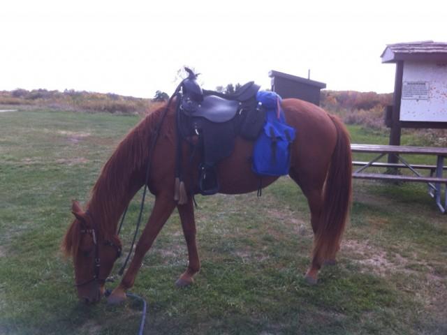 paso fino mare is search and rescue horse