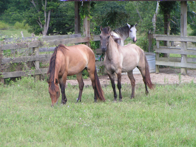 rulla paso fino gelding with pasturemate.