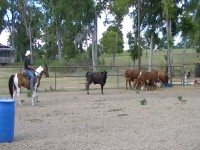 Paso Fino working cattle